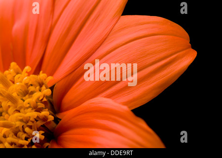 orange flowering stockfotos orange flowering bilder. Black Bedroom Furniture Sets. Home Design Ideas